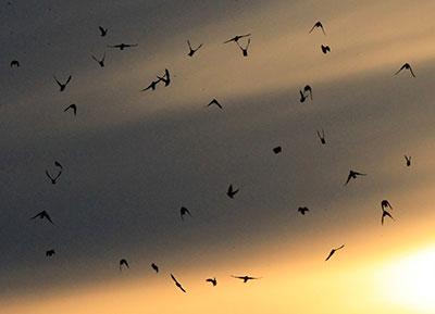 swallows-yellow-sun