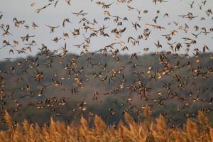 swallows-close3